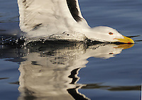 Greater Black-Backed Gull, Larus marinus.Flatanger, Norway