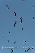 A flock of magnificent frigatebirds in flight against a blue sky.