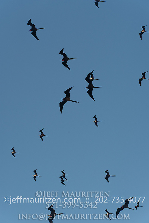 A flock of magnificent frigatebirds in flight against a blue sky.