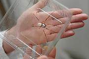 Professorin Dr. Christine Radtke fängt eine Goldene Radnetzspinne (Nephila clavipes) im Spinnenraum der Medizinischen Hochschule Hannover (MHH)