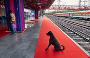 India, Delhi. Maharajas' Express luxury train. Delhi Safdarjung station. Red carpet for passengers. The station dog is greeting the guests.