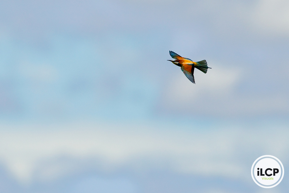 European Bee-eater (Merops apiaster) flying, Maubec, Luberon Valley, Provence, France