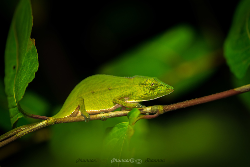 The Perinet chameleon (Calumma gastrotaenia), also known as the Malagasy side-striped chameleon, is a small species of chameleon endemic to humid primary forests, particularly along rivers, in eastern and central Madagascar at elevations between 600 and 1,530 m.