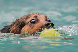 61539534<br /> A dog participates in a dog diving competition in Budapest, Hungary on May 18, 2014. Dog diving is free time sport testing the skill of the dogs. The owner throws a toy into the pool and the dog jumps into the water to retrieve it. Some dogs enjoy it, while some simply skip the task. Rules of the competition strictly forbid for the owners to toss the dogs into the water. It is a game the dog must enjoy and want to cooperate, Hungary, Sunday, 18th May 2014. Picture by  imago / i-Images<br /> UK ONLY