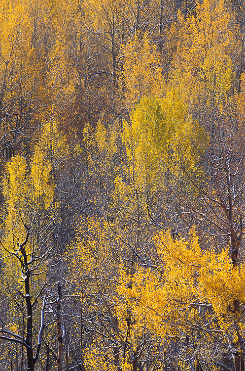 Light snow on late fall aspens in the San Juan Mountains, Uncompahgre National Forest, Colorado