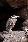 An adult yellow-crowned night heron (Nyctanassa violacea) on Genovesa Island, Galapagos Archipelago - Ecuador.