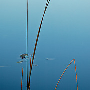 Reed detail with blue water;  MInnesota.