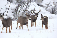 A group of Mule deer stand together at a lower elevation in a mountain valley in the Rocky Mountains.