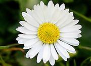 Daisy flower, England