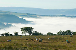 © Licensed to London News Pictures. 10/06/2019. Erwood, Powys, Wales, UK. Sheep are seen on the Mynydd Epynt moorland above the village of Erwood in Powys after temperatures dropped dramatically to an unseasonal 4.5deg C causing a temperature inversion to form in the Wye valley. Photo credit: Graham M. Lawrence/LNP