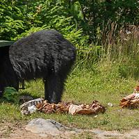 A female American black bear (Ursus americanus) raiding a garbage bin in Nova Scotia, Canada. July 2018.