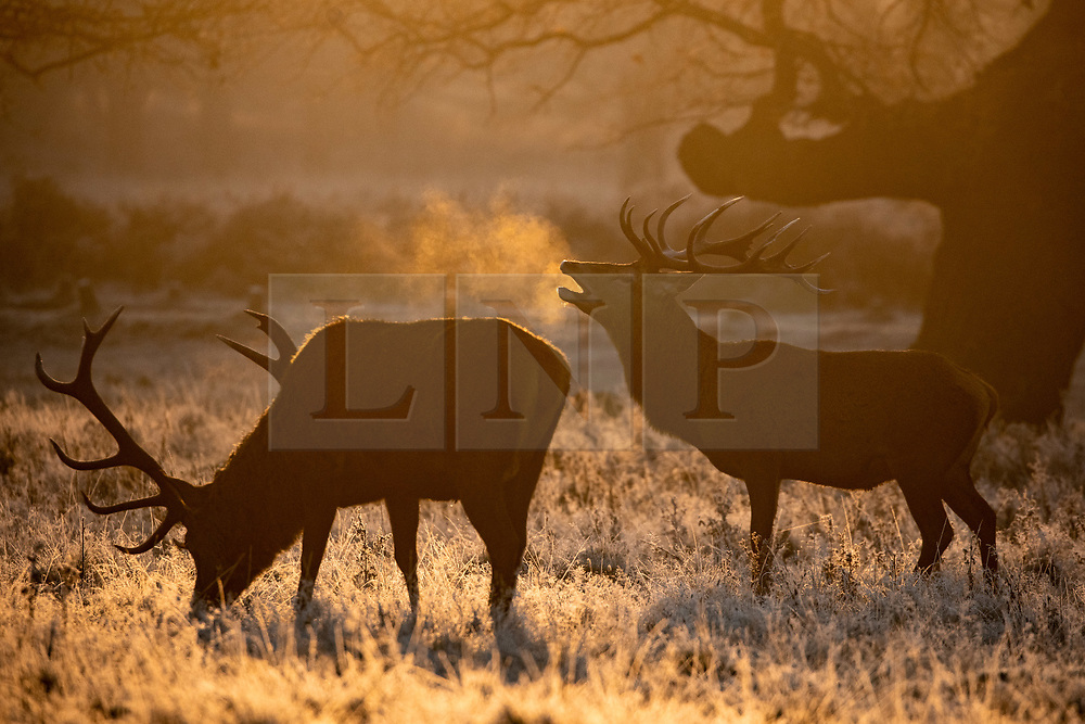 © Licensed to London News Pictures. 02/12/2019. London, UK. Deer in the frost, at sunrise in Richmond Park, London, as temperatures dropped to below zero degrees Celsius last night in the capital. Photo credit : Tom Nicholson/LNP