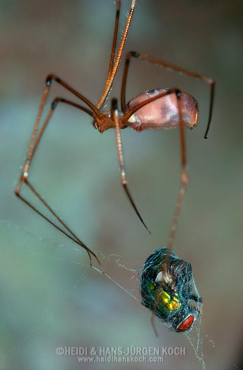 DEU, Deutschland: Spinnen, Große Zitterspinne (Pholcus phalangioides) Weibchen, spinnt eine noch lebende Fliege ein als Futtervorrat, Silhouette, Cuxhaven, Niedersachsen   DEU, Germany: Spiders, Daddy long-legs spider (Pholcus phalangioides) female wrapped a still alive fly, feed reserve, silhouette, Cuxhaven, Lower Saxony  