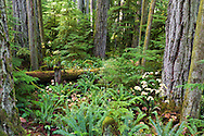 The Cathedral Grove forest in Macmillan Provincial Park near Port Alberni, British Columbia, Canada