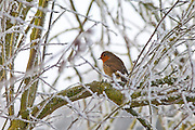 Robin on drystone wall in winter scene hoar frost in The Cotswolds, UK