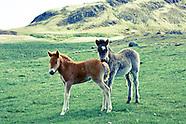 Icelandic foal in Hvalfjordur 2011