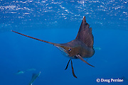 Atlantic sailfish, Istiophorus albicans, off Yucatan Peninsula, Mexico ( Caribbean Sea )