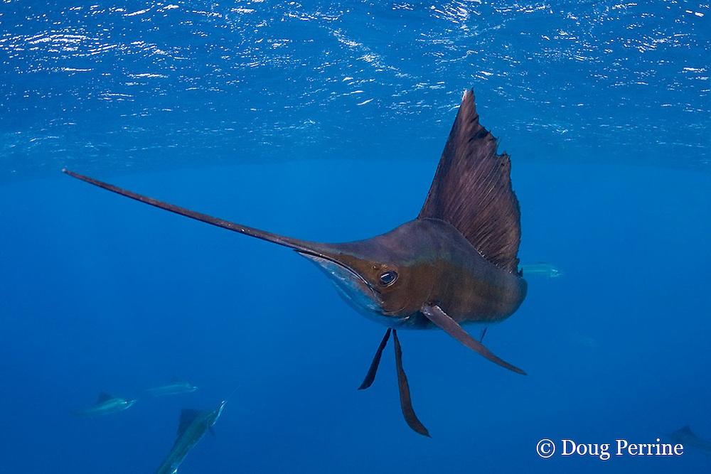 Atlantic sailfish, Istiophorus albicans, off Yucatan Peninsula, Mexico ( Caribbean Sea )