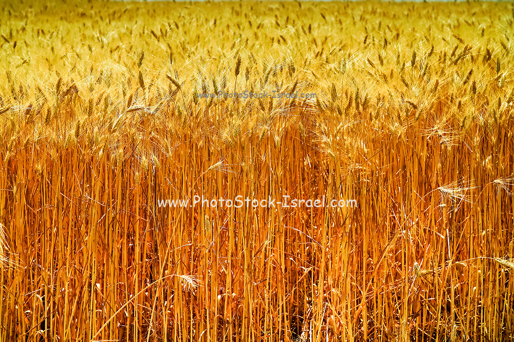 Ripe, Golden wheat stalks in a field before harvest