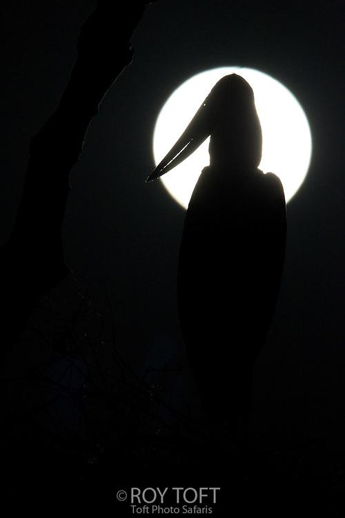 Silhouette of Jabiru Stork (Jabiru mycteria) against full moon, Pantanal, Brazil