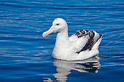 Wandering Albatross, New Zealand
