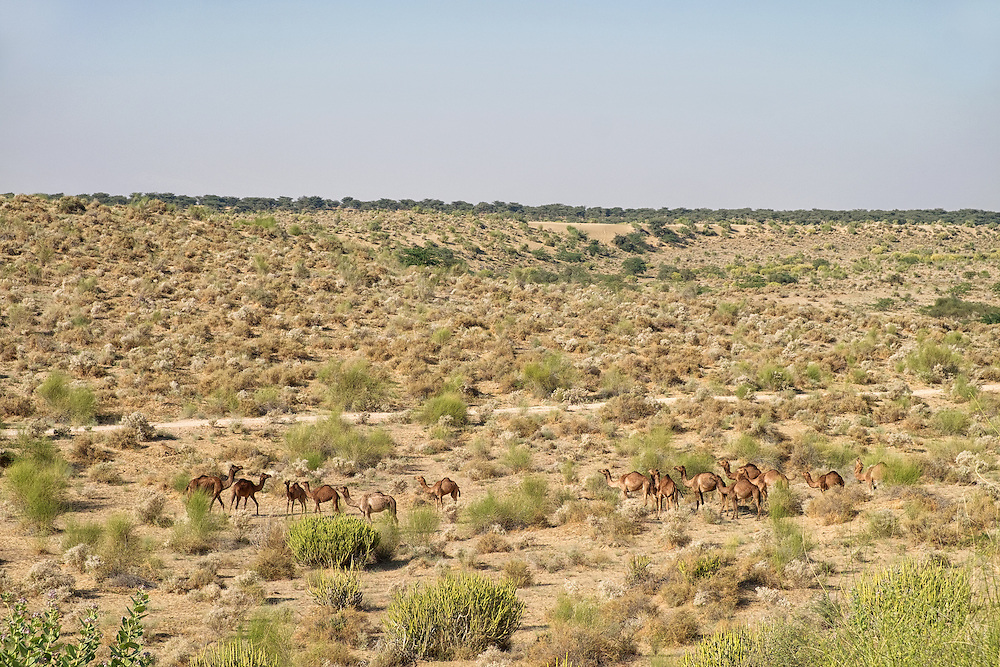 Camels at Khuri Desert in Jaisalmer of Rajasthan, India