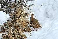 A Chukar stands in the snow and picks at buds and seeds around the scrub oak trees in the mountains of northern Utah.