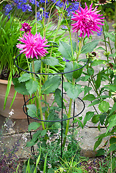 Hooped plant support around Dahlia 'Sugar Diamond'