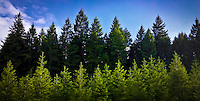 a row of young conifers stand in front of a more mature conifer forest