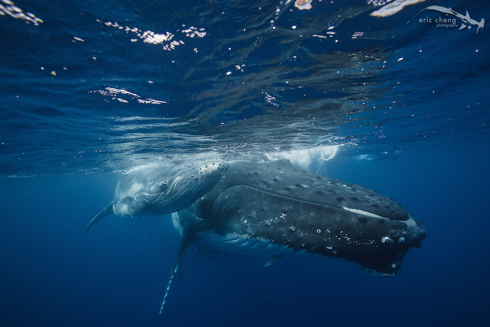 A large mother humpback whale (Megaptera novaeangliae) and her young calf. Vava'u, Tonga.