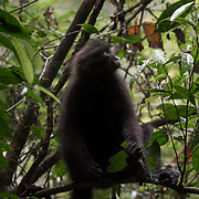 The Banded Leaf Monkey Presbytis femoralis inhabits primary forest, mature secondary forest or swamp forest. It is active by day, particularly in the morning and late afternoon, and is arboreal . Kaeng Krachan National Park is on the the northern limit of its distribution.