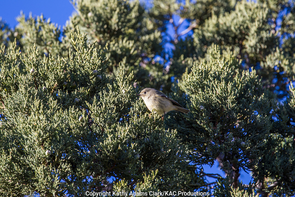 Ruby-crowned kinglet, Regulus calendula, autumn, Big Bend National Park, Chihuahuan Desert, west Texas