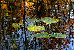 Stock photo of lily pads on a pond