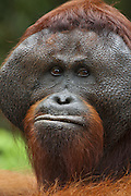 Bornean Orangutan <br /> Pongo pygmaeus<br /> Male showing pronounced cheek pads<br /> Tanjung Puting National Park, Indonesia