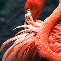 American Flamingo, Phoenicopterus ruber, Cape May County Zoo, New Jersey, USA