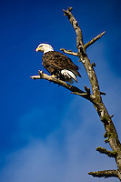 JEROME A. POLLOS/Press..An adult eagle scans the water of Lake Coeur d'Alene from a snag on Higgens Point Tuesday.