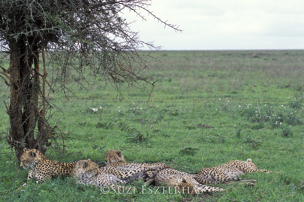 Cheetah<br /> Acinonyx jubatus<br /> Mother and four 16-18 month old cubs resting in shade at midday<br /> Ngorongoro Conservation Area, Tanzania