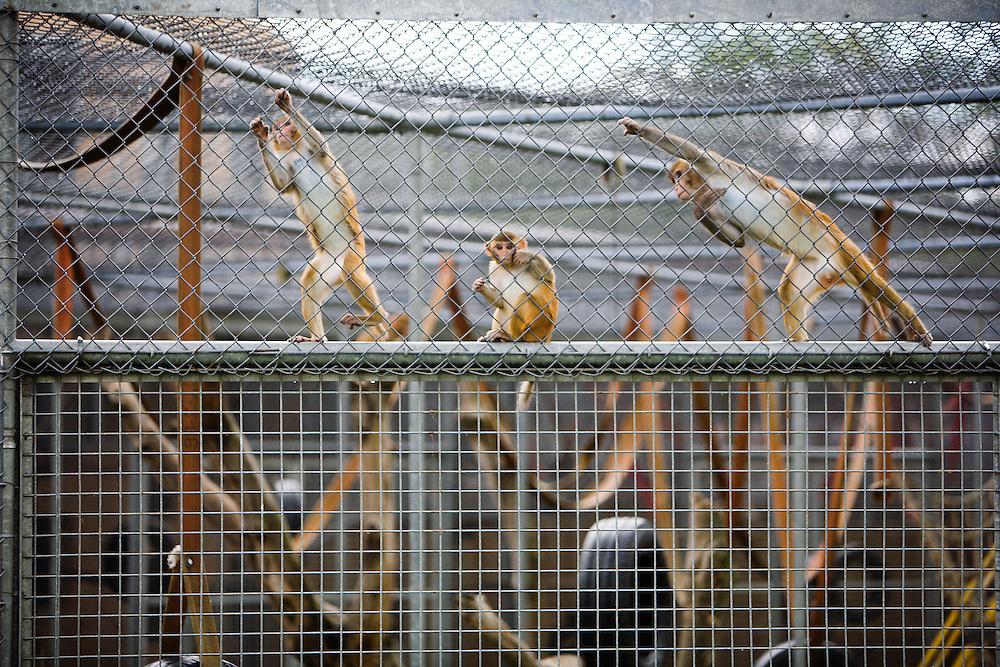 Nederland. Rijswijk, 25 juni 2007.<br /> BPRC, proefdiercentrum.. Fokapen in grote kooien in de buitenlucht, proefdieren werden niet getoond &quot; Vanwege kans op TBC besmetting&quot;.<br /> Foto Martijn Beekman <br /> NIET VOOR TROUW, AD, TELEGRAAF, NRC EN HET PAROOL