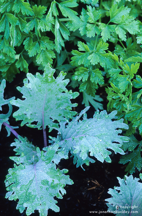 Red Russian Kale and Flat leaved parsley