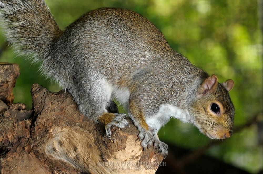 DEU, Deutschland: Grauhörnchen (Sciurus carolinensis), das Grauhörnchen ist das Nordamerikanische Gegenstück zum Europäischen Eichhörnchen, es ist doppelt so schwer, silber bis schwarz-grau, keine Pinselohren, anpassungsfähiger und eventuell eine Gefahr für unsere einheimischen Eichhörnchen. Eingeschleppt, leben sie schon in England, Italien und in der Schweiz, in England haben sie die Europäischen Eichhörnchen bereits fast verdrängt, angeblich ist es nur eine Frage der Zeit, wann sie über die Alpen kommen, es ist verboten in Deutschland Grauhörnchen zu halten und zu züchten. Die Tiere, die noch hier in Deutschland bei Züchtern oder in Zoos leben sind Überbleibsel aus früheren Zeiten mit einer Sondergenehmigung, im Freiland gibt es in Deutschand keine Grauhörnchen, Lippstadt, Nordrhein-Westfalen | DEU, Germany: Eastern Gray Squirrel (Sciurus carolinensis), is the North American obverse of the Eurasian Red Squirrel, more than twice as weighty, silver to black-grey, no tufted ears, more flexible and maybe a risk for the local squirrel, they just yet living in England, Italy and in Switzerland, in England the Eurasian Red Squirrel almost displased, reportedly is just a matter of time, when they will come over the Alps, in Germany it is forbidden to keep or to breed Eastern Gray Squirrel, the animals which still living in zoos or with breeders are remains, outdoors Eastern Gray Squirrel no living in Germany; Lippstadt, North Rhine-Westphalia