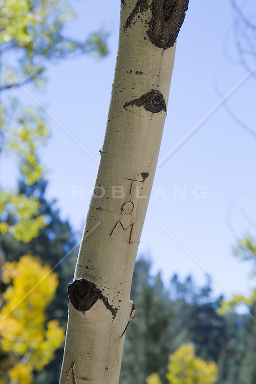 """the name """"Tom"""" carved on an Aspen Tree in New Mexico"""