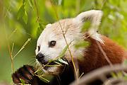 Red Panda, eating bamboo, captive
