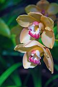 Yellow, Orchids, Magenta, Flower, beautiful, Botanical,  Garden, Balboa Park, San Diego, Ca High dynamic range imaging (HDRI or HDR)
