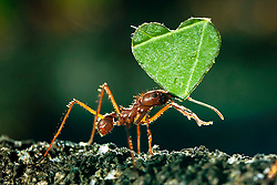 © Licensed to London News Pictures. 6/2/2013. Twycross, Leicestershire, UK. Leaf Cutter Ants carry heart shaped pieces of leaf at Lwycross Zoo on February 06, 2013, a week before Valentines Day. Twycross zoo have over a million Leaf Cutter ants, surprisingly they live between the Ladies and Gentlemen's toilets in the Himalaya area of the Zoo, in a specially built glass fronted enclosure so visitors can rinse their hands whilst watching the ants carry their leaves. Photo credit : Dave Warren/LNP