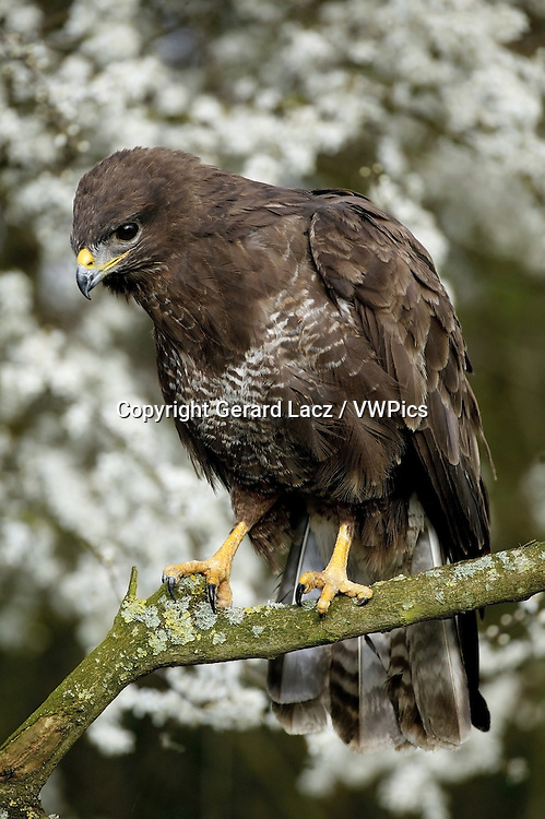 Common Buzzard, buteo buteo, Adult standing on Branch, Normandy