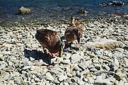 Wild ducks on the shore of Lake Como