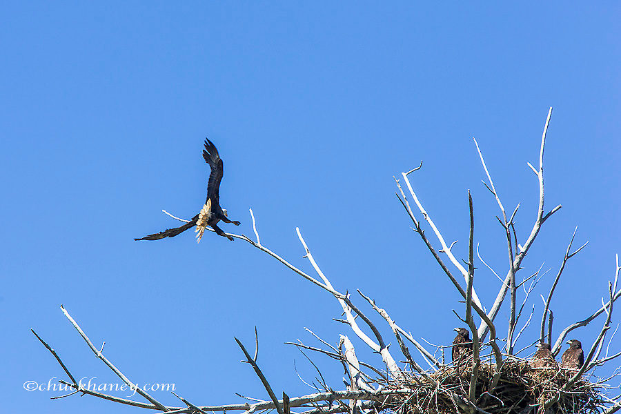 Bald eagle nest along the Upper Missouri River Breaks National Monument, Montana, USA