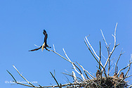 Bald eagle nest along the Upper Missouri River Breaks National Monument, Montana, USA
