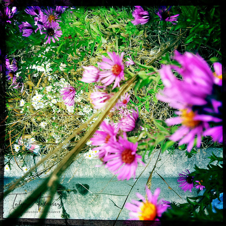Wild flowers - Moline, Illinois