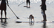 A dog rides on a stand up paddle board in Lake Washington. (Ellen M. Banner / The Seattle Times)